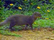 Photo: Mongoose