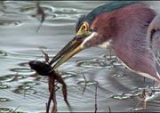 Heron eats frog.
