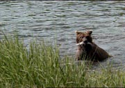 Grizzly catches fish.